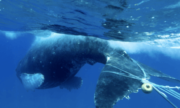 Drones for Good: rescue crews are using DJI tech to help save entangled whales